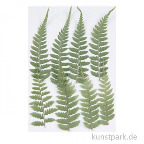 Gepresste Pflanzen - Kleiner Farn, 8 Stück