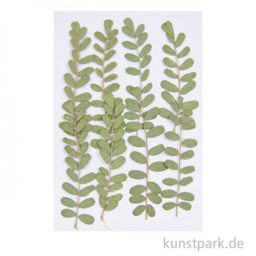 Gepresste Pflanzen - Nelkengewächs, 8 Stück