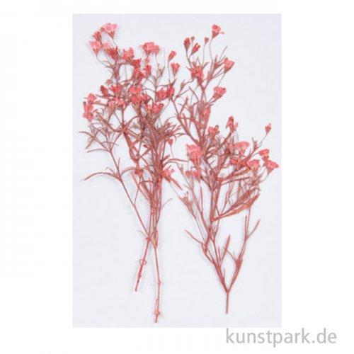 Gepresste Pflanzen - Schleierkraut Rot, 4 Stück