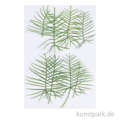 Gepresste Pflanzen - Zypressen-Prunkwinde, 6 Stück