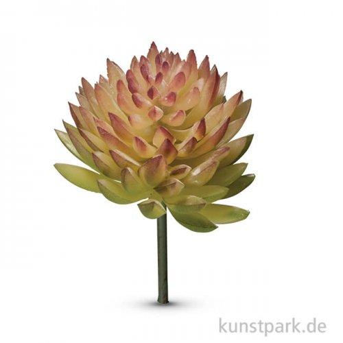 Mini-Sukkulente - Echeveria, 4,5x3 cm, 1 Stück